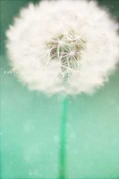 Dandelion Seed Photo  Fine Art Photography summer- I love these little flowers; they're so fun to play with.