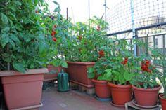 Tomaten auf dem Balkon ziehen – Wertvolle Tipps zum Anbau