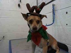 **No Shares on fb** SL 12/11/14 CODE RED DOGS Dogs of Miam MISLETOE (A1661634) I am a male tan Terrier. The shelter staff think I am about 2 years old. I was found as a stray and I may be available for adoption on 11/26/2014. — at Miami Dade County Animal Services. https://www.facebook.com/urgentdogsofmiami/photos/a.318535068180903.84492.191859757515102/876352899065781/?type=3&theater