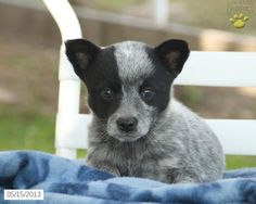 Blue Heeler Puppy.. I remember when I had a blue heeler... best dog I ever had :')