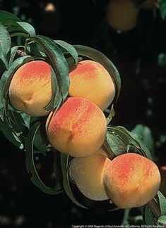 Information on growing fruit trees in the home garden. Includes info on planting, pruning, pests and diseases.  Included on site are:     Almonds     Apples     Apricots     Avocados     Blackberries and Raspberries     Cherries     Citrus     Figs     Grapes     Nectarines and Peaches     Pears     Plums and Prunes     Strawberries     Walnut