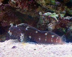 Starry Blenny.. one of the coolest fish ever! Ours has the best personality!