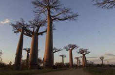 Adansonia grandidieri. Le plus imposant des baobabs, un véritable monument de 30 à 40 mètres, formant la célèbre allée des baobabs de Morondava à Madagascar.