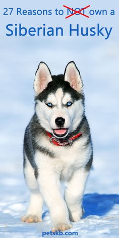 Required aid with pet training? Consider these recommendations when training your dog. It's an excellent tip to examine the fundamentals of dog training if you just have your very first pet dog. Click the link to get more information. Husky Breeds, Dog Breeds, Training Your Puppy, Dog Training Tips, Training Schedule, Potty Training, Mini Siberian Husky, Siberian Husky Training, Siberian Huskies
