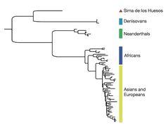 Human lineage tree