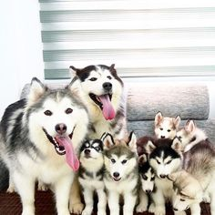Happiness is.... a home full of huskies!