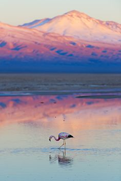 Photographic Print: Flamingo, Pink Sunset above Atacama Desert by longtaildog : Chile Travel Honeymoon Backpack Backpacking Vacation South America Places To Travel, Places To See, Travel Destinations, Pink Sunset, Desert Sunset, Easter Island, Photos Voyages, South America Travel, Belle Photo
