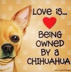 Chihuahuas:  Love is...   Being Owned By a Chihuahua.