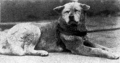 The True Story of a Loyal Dog ~ Hachiko was a real dog, he belonged to a Tokyo University professor named Eisaburo Ueno in the 1920's.  Hachiko was the quintessential example of the spirit that embodies man's best friend. He would see professor Ueno to the station every morning, & trot out to wait for him as he came home at night. When the professor died, his wife moved & she gave Hachiko to relatives... Every time he had a chance, he would dash away to the station & wait for his master's return Love My Dog, Hachiko Dog, Hachi A Dogs Tale, A Dog's Tale, Japanese Akita, Loyal Dogs, Real Dog, Fukushima, Mans Best Friend