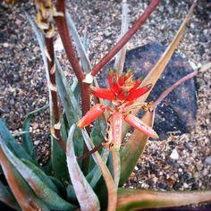 Spire aloe (Aloe cryptopoda) flowers looking extra vibrant after the rain.