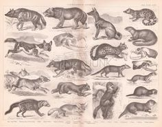 1859 Antique engraving of different species of Canids, vintage Rare Dog Fox Wolf Fennec Coyote engraving, oddity mammals Otter Genet weasel Antique Prints, Vintage Prints, Vintage Posters, Carnivorous Animals, Rare Dogs, Poster Prints, Framed Prints, Antique Pictures, Detailed Drawings