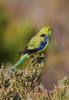Blue-banded Grass Parakeet (Neophema chrysostoma) - also known as the Blue-winged Parrot.