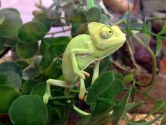 A baby Yemen chameleon, yeah man. One of Northampton Reptile Centre's babies.