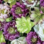 Double-Flowered Hellebores Chase away the winter blues with this colorful mix of lavender, white, yellow, pink, red or green. The cup-shaped, nodding double and anemone blooms are stunning. And, the evergreen, glossy foliage provides a complementary backdrop. These are ideal for planting under trees, on the north side of buildings and in woodland areas.
