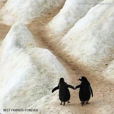 Once a penguin finds their mate, they never leave them. soulmates forever <3