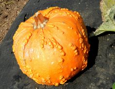 Plant: Pumpkins of all shapes and sizes......