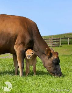 Rescued cow and calf at Farm Sanctuary Cute Baby Animals, Farm Animals, Animals And Pets, Wild Animals, Baby Cows, Baby Elephants, Cute Cows, Vegan Animals, Farm Life