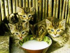 """A Torino il primo """"Cat cafè"""" d'Italia. Caffè, relax e Pet Therapy: a Torino apre il primo Cat Cafè italiano. #MiaGola Caffè"""