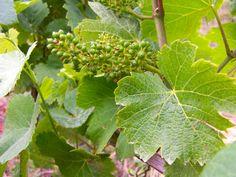 Les grappes de raisins commencent à se former sur les vignes de nos domaines !