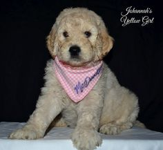 F2B Goldendoodles from JoHannah and Bentley.  All spoken for just sharing.  Moss Creek Goldendoodles #mosscreekgoldendoodles @mosscreekgoldendoodles English Goldendoodles