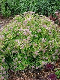 spiraea japonica limemound - Google Search