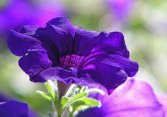all in Bokeh Purple Petunias, Deep Purple, Purple Flowers, Beautiful Gardens, Beautiful Flowers, Beautiful Pictures, Bokeh, Patio Trees, Butterfly Photos