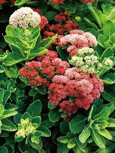 Pretty Sedum is an easy-to-grow perennial that turns brick red during the fall.