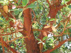 Arbutus menziesii – The Watershed Nursery
