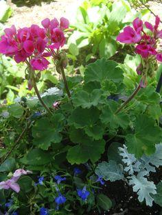 Hot pink Geraniums and Blue Lobelia