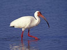 White Ibis (Eudocimus albus) A wading bird of the deep South, the striking White Ibis is frequently seen on lawns looking for large insects as well as probing for prey along the shoreline.