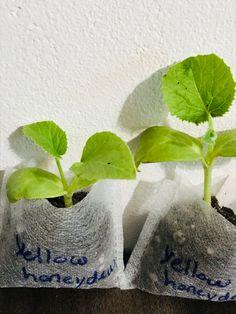Buy Flowers Online, Buy Plants Online, Growing Herbs, Growing Vegetables, Honeydew Plant, Black Bean Plant, Chickpea Plant, Okra Plant, Herbs Indoors