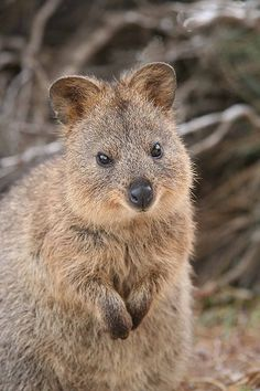 Meet The Happiest Animal In The World Quokka, Western