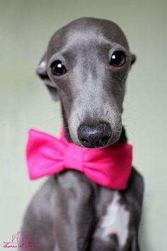 Italian Greyhound Charcik Włoski Lady Margot Tesori di Carli