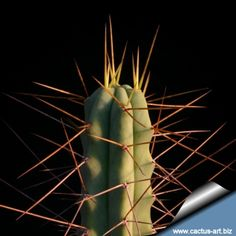 Echinopsis salmiana v. bridgesii