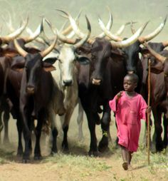 A Fulani tribe child, of Central Africa, herding young Ankole-Watusi cattle. It is normal for these little ones to do this, but having been around cattle, this is not a safe decision. All About Africa, Out Of Africa, West Africa, African Children, Knowledge And Wisdom, Liberia, World Photography, Color Photography, African Culture