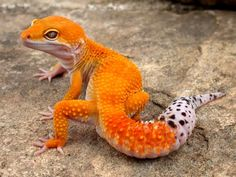 Juvenile tangerine tomato leopard gecko // courtesy of Craig Stewart, Ontario, Canada
