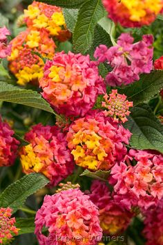 Lantana These are so pretty!  We have 2