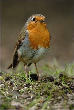 Robin Vogel, European Robin, Robin Redbreast, Robin Bird, Tier Fotos, Backyard Birds, Bird Pictures, Colorful Birds, Four Legged
