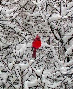 Cardinal in winter wonderland