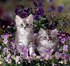 Purple pansies with kitten