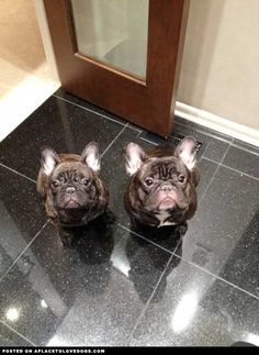 'double trouble', French Bulldog Puppies