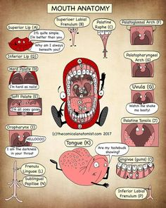 "271 kedvelés, 4 hozzászólás – TheMedicosPlatformWorldwide® (@medical_careers) Instagram-hozzászólása: ""Anatomy of the mouth! Find more at thecomicalanatomist.com  _ Post by @thecomicalanatomist…"""
