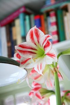 Country Gardens looks at amaryllis to chase away the winter blues. @LongfieldGardens @KatieGMG