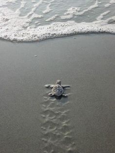 I wanna watch baby sea turtles go to the sea!