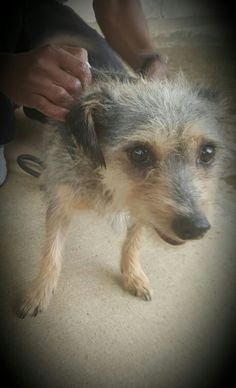 I am a wire haired terrier. I am 5 years old and looking for a family of my own. I am gentle and sweet and will love if you take me home. — at Johannesburg SPCA. Wire Haired Terrier, Bank Branch, Donate Now, Take Me Home, 5 Year Olds, 5 Years, Meet, Animals, Animales