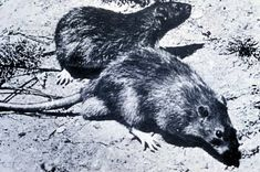 The bubonic plague was spread by rats such as these which were infested with flees with the bacterium Yersinia Pestis. Mongol troops accompanied by these rats spread the plague throughout Asia. Great Fire Of London, The Great Fire, Death Aesthetic, Plague Doctor, Black Death, Middle Ages, Fleas, Rats, Trippy