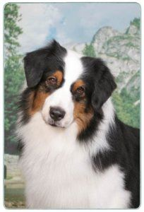 """Australian Shepherd Cutting Board by Canine Designs. $29.95. Size: 8"""" x 11""""; Scratch Resistant - imprinted on back; Made of tempered glass making it virtually unbreakable.; Heat resistant.; Hygenic and easy to clean.. Our beautiful, dog breed cutting boards will enhance any kitchen. They make great gifts, are made of tempered glass and measure 9"""" x 12"""". They are heat resistant, scratch resistant, virtually unbreakable, easily cleaned and dishwasher safe."""
