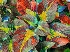 Never seen this variety. Love it! Coleus