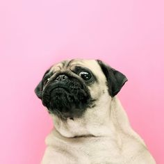 Calendrier Loulou le Carlin - Made in Dog Llamas Animal, Pug Quotes, Pug Wallpaper, Pug Accessories, Teacup Pug, Baby Pugs, Pug Pictures, Pug Puppies, Pug Love