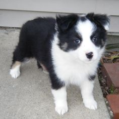 Mini Aussie | Australian Shepherd... just a couple months and I will be getting mine!!